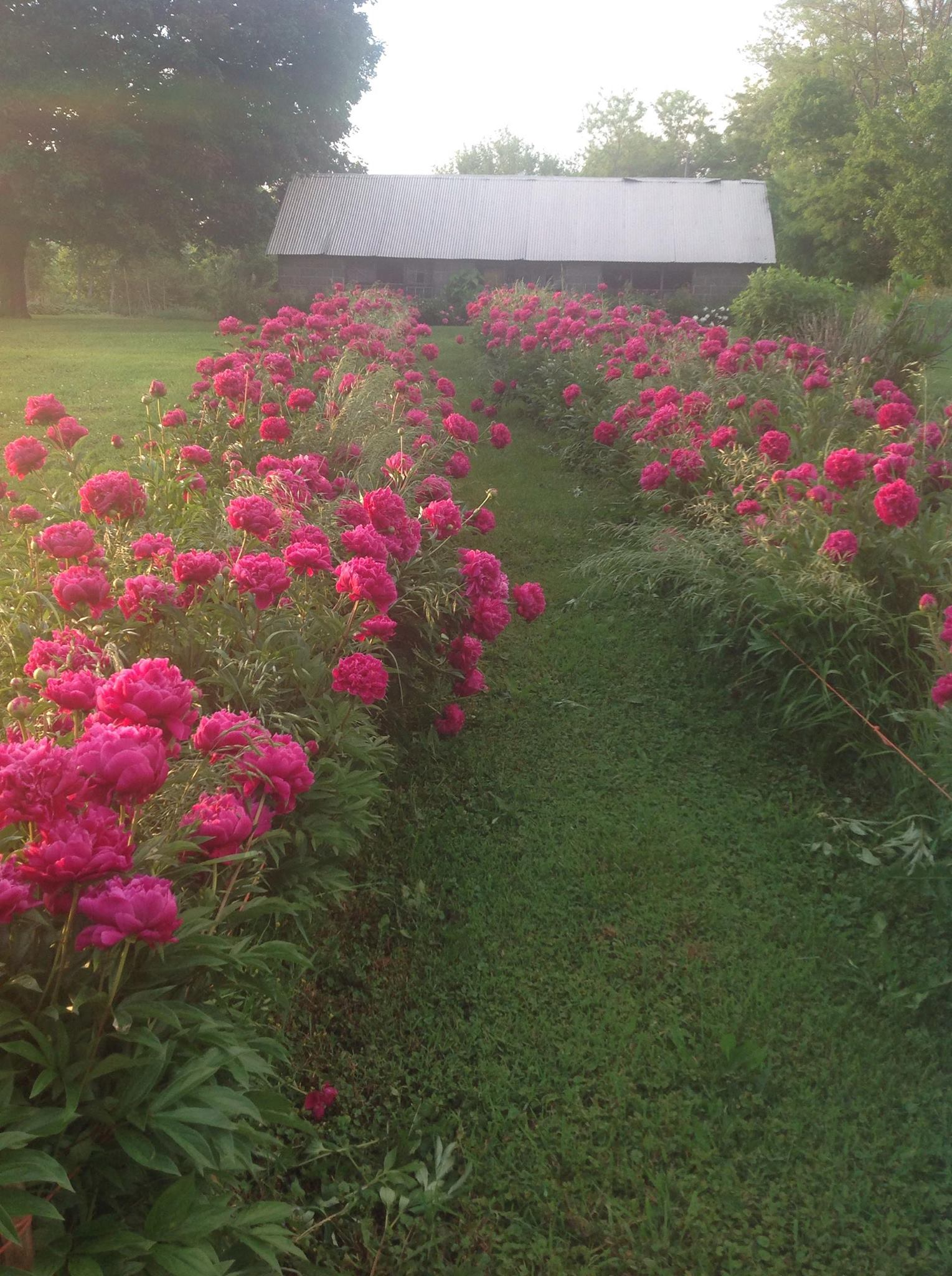 fuchsia peonies in full bloom at the Sharritt farm