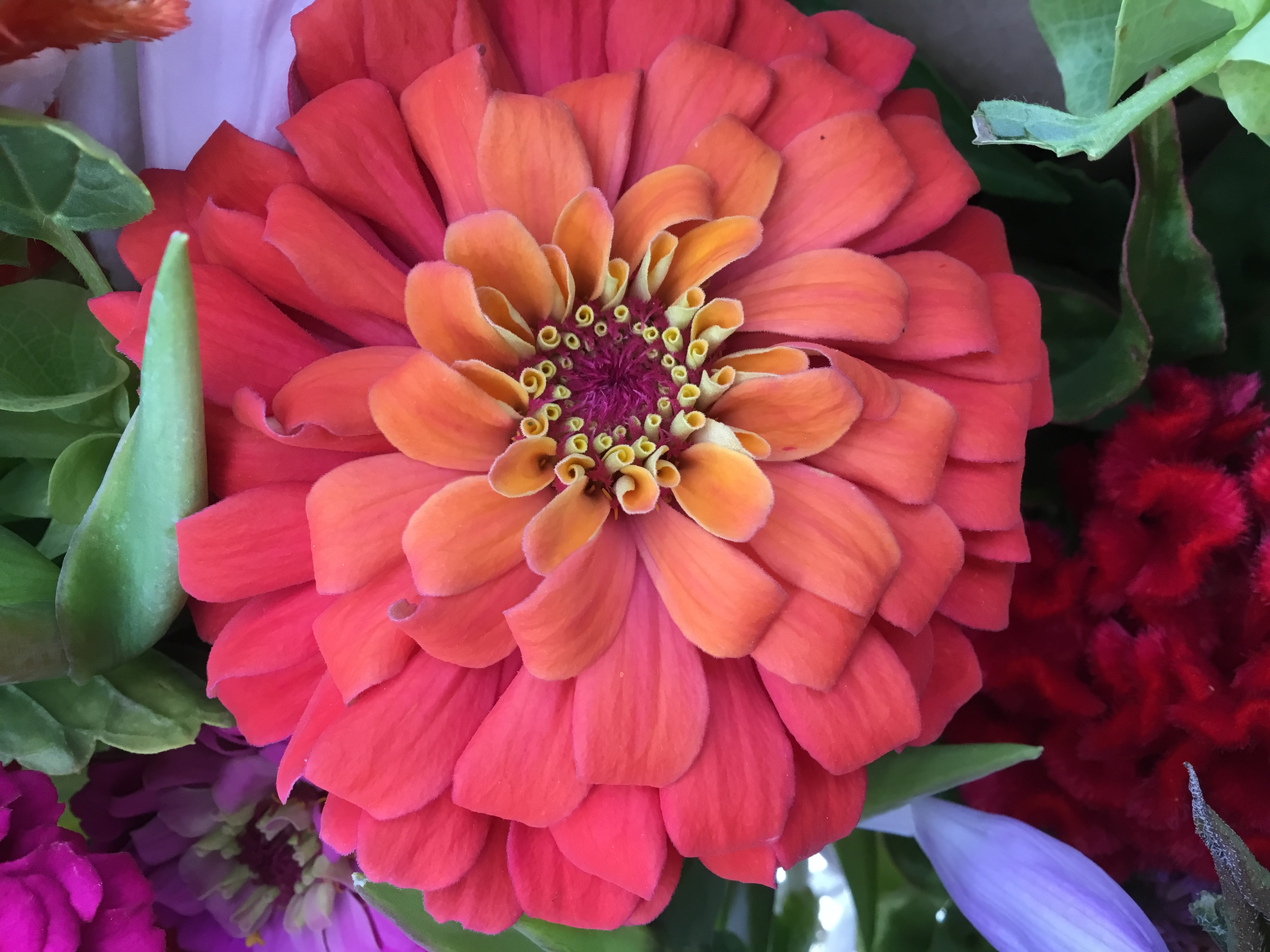 Pinkish red zinnia