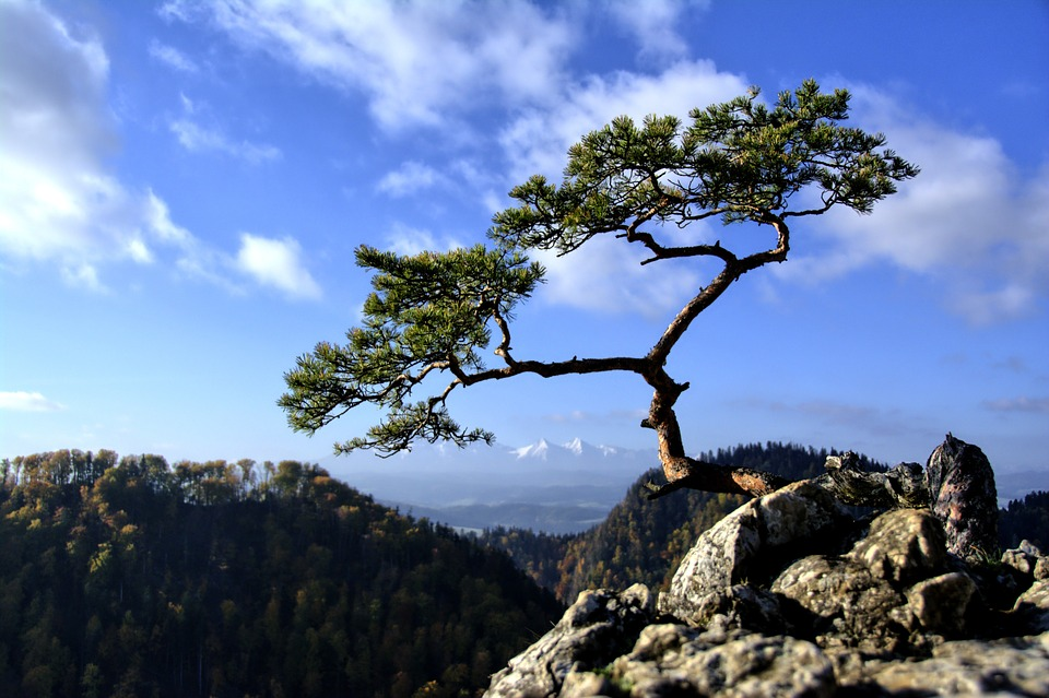 Tree high upon a mountainous ledge