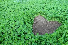 Field of clovers with heart shaped open patch.