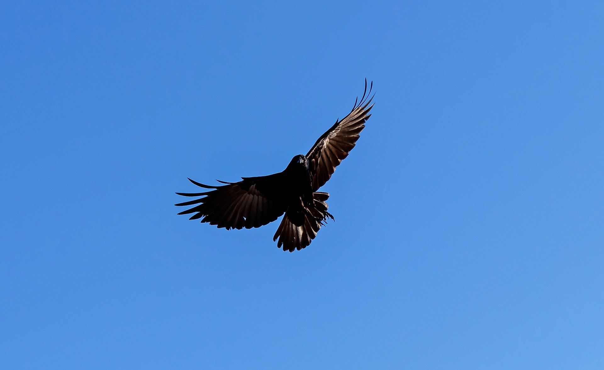 American crow in flight with blue sky background